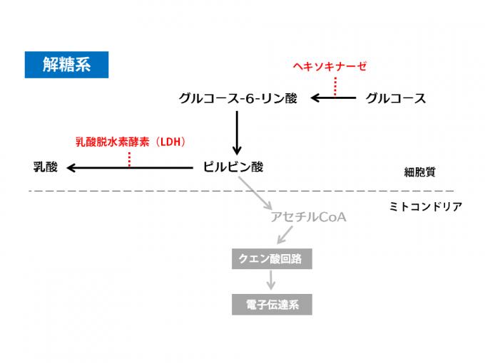 解糖系_140709