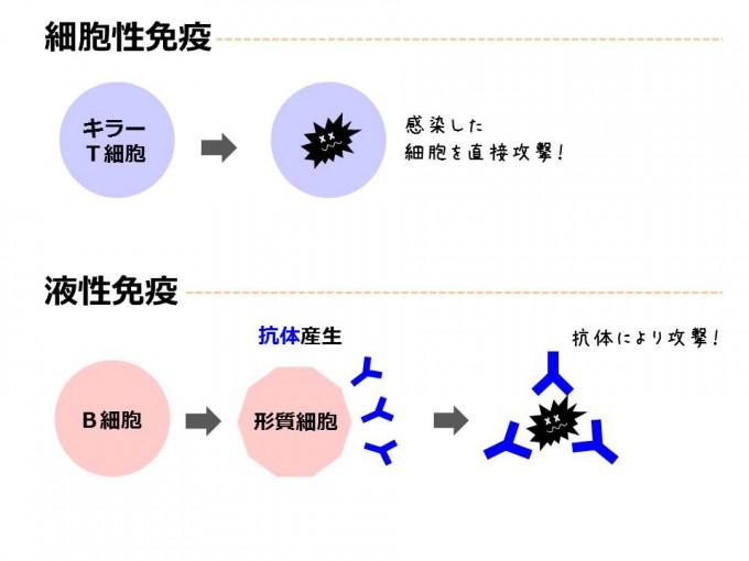 コラム免疫_20151216①
