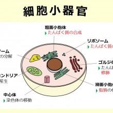 細胞小器官_160420