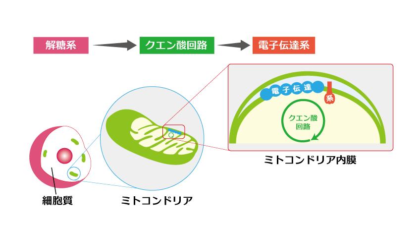 基礎】解糖系 – SGSブログ