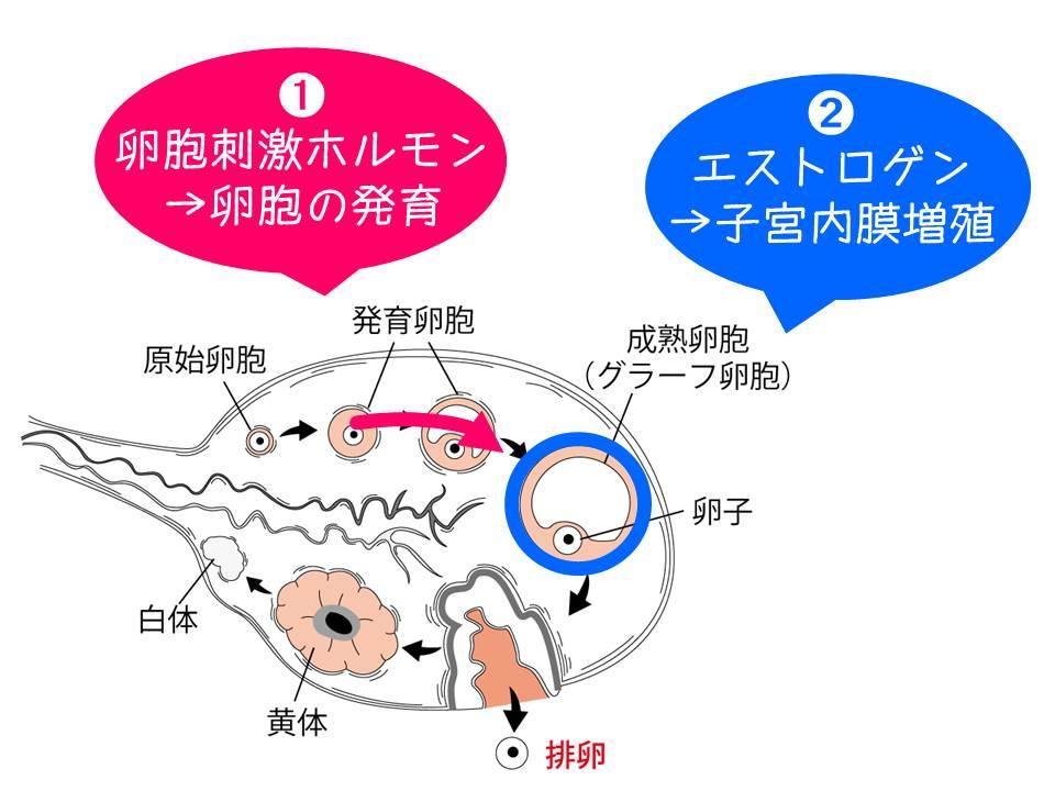 形成 ホルモン 黄体
