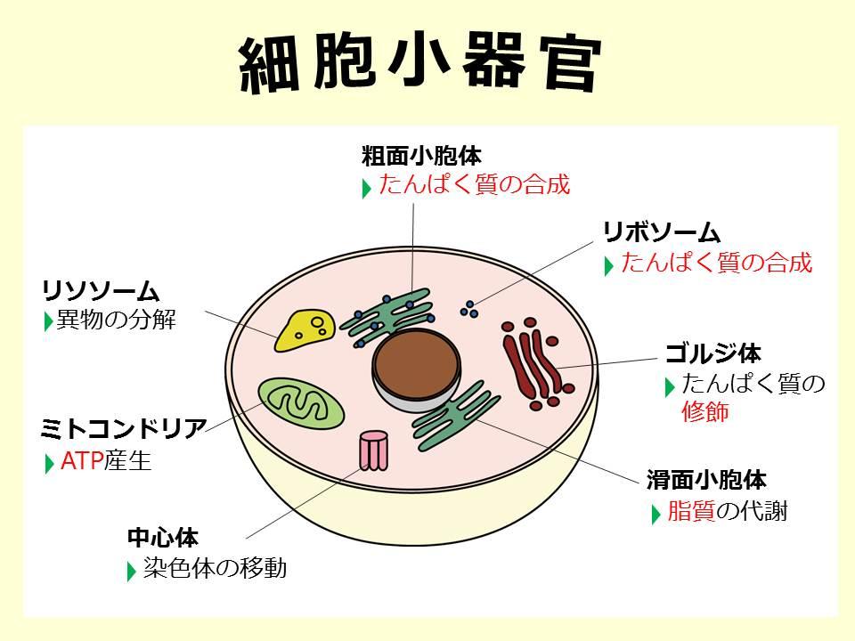 【人体】細胞小器官 – SGSブログ